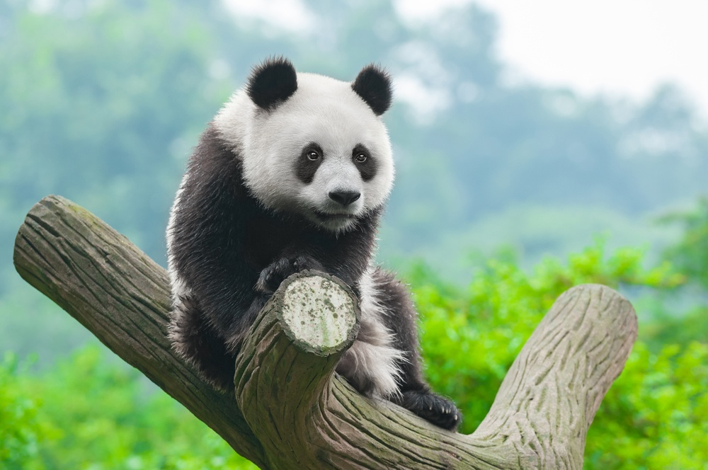 Panda is Now Part of Google's Core Algorithm- What Does it Mean For You?